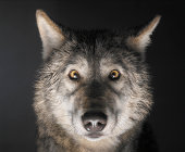 Grey Wolf (Canis lupus), close up