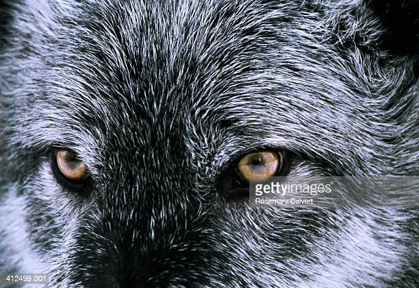 Grey (or Timber) wolf (Canis lupus), head shot, close-up