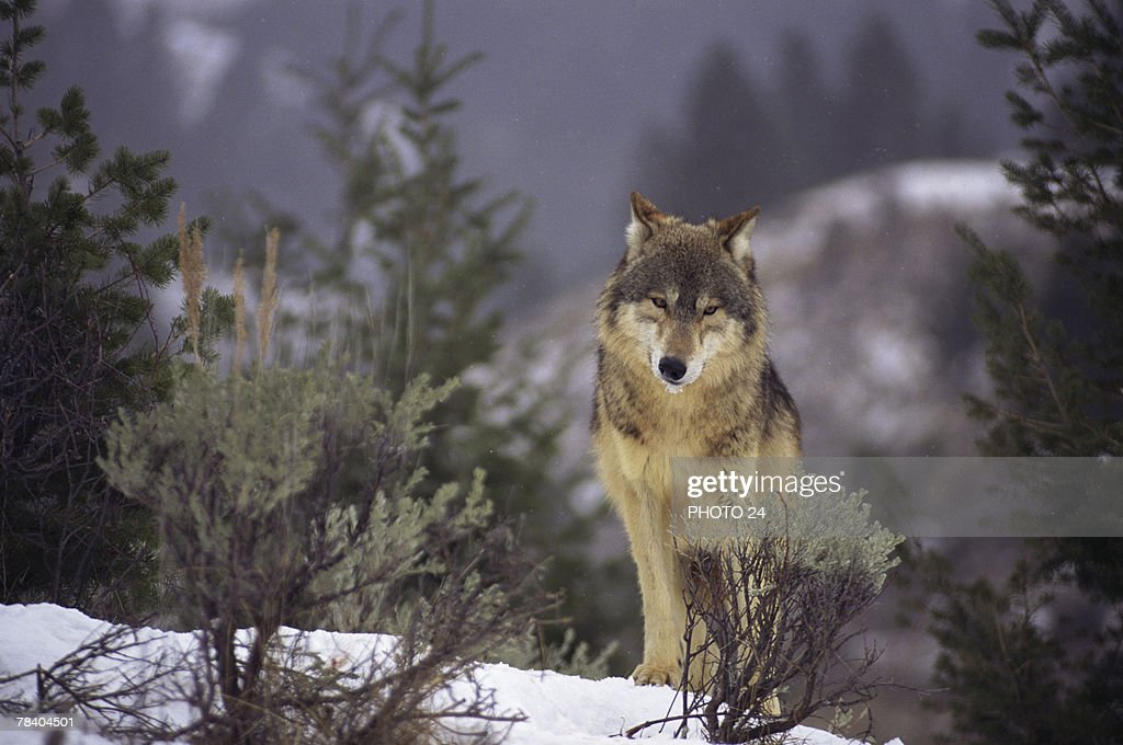 Wolf Pictures In The Wild