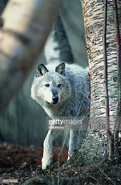 Grey Wolf (Canis lupus), Montana, USA