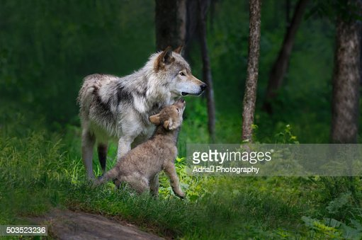 Grey wolf mother with her young pup