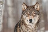 Grey Wolf (Canis lupus) Portrait - captive animal