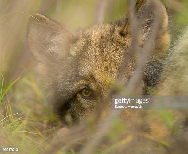 Grey wolf pup hiding in bushes