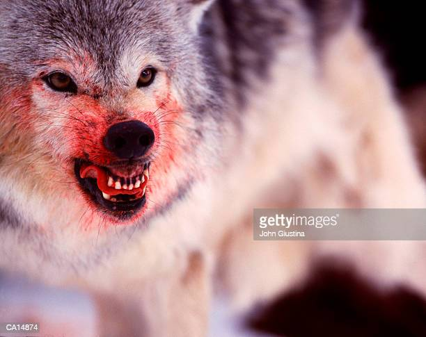 Grey wolf (Canis lupus) snarling, blood covering muzzle