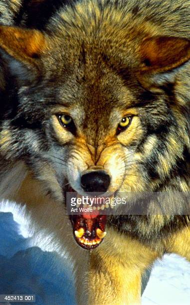 Grey wolf (Canis lupus) snarling, head-shot, Canada