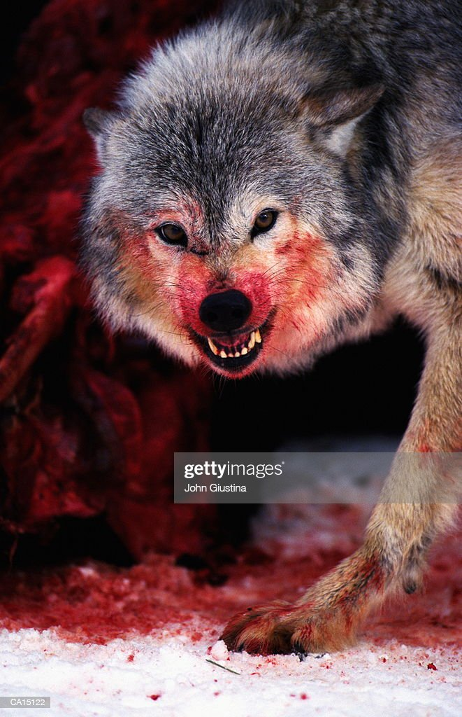 Grey wolf (Canis lupus) snarling over fresh kill