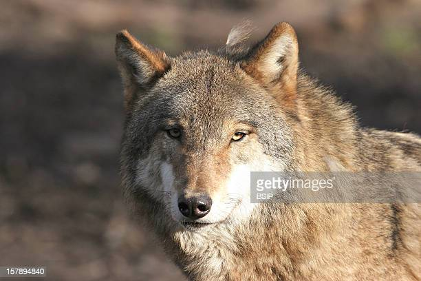 Grey Wolf Wolf Originate From The Pyrenees Picture Taken In An Animal Park Of The Yvelines FranceCanis Lupus Wolf Canid Mammal