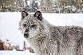Grey Wolf, Yellowstone