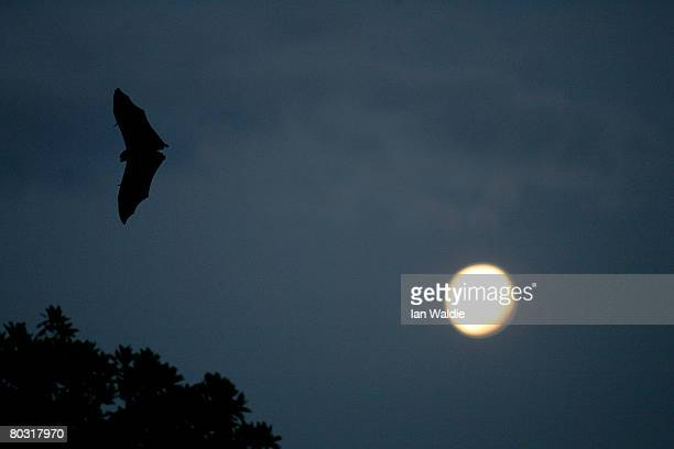 GreyHeaded Flying Fox flies past a rising fullmoon at the Royal Botanic Gardens March 20 2008 in Sydney Australia Flying Foxes or fruit bats have...