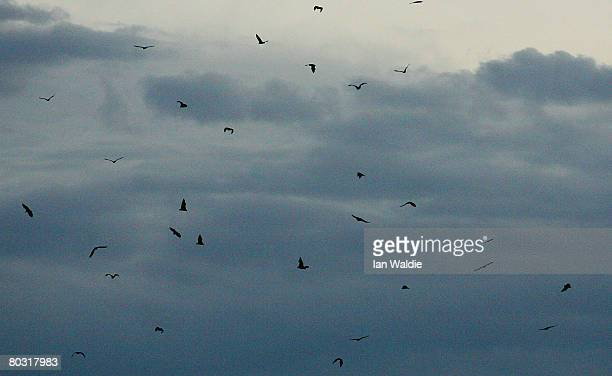 GreyHeaded Flying Foxes fly through the air above the Royal Botanic Gardens March 20 2008 in Sydney Australia Flying Foxes or fruit bats have taken...