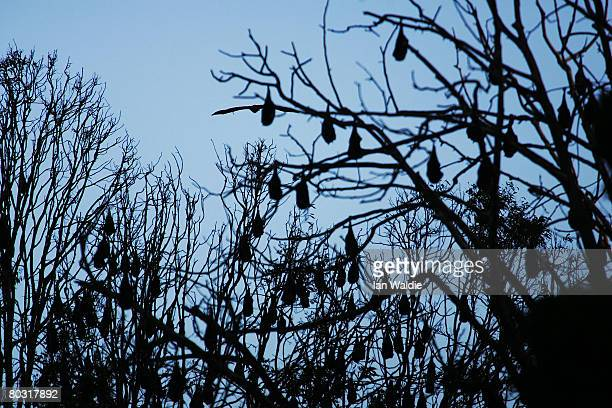 GreyHeaded Flying Foxes sleep in their roosts at the Royal Botanic Gardens March 20 2008 in Sydney Australia Flying Foxes or fruit bats have taken up...