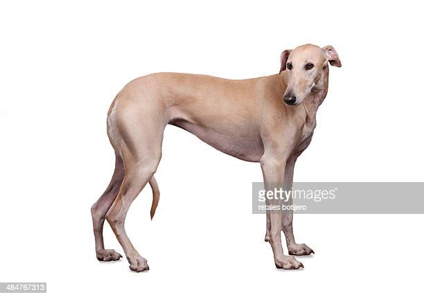 Greyhound on white background