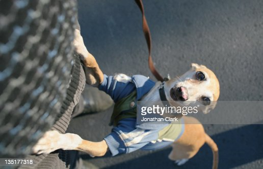 Greyhound : Stock Photo
