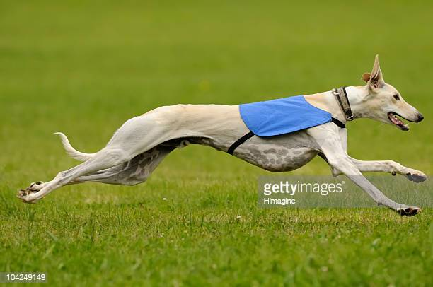 A greyhound running fast in the green grass
