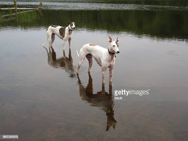 Greyhounds cooling off