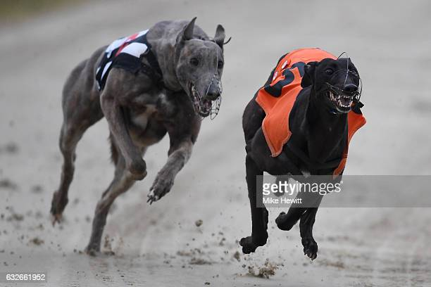 Greyhounds in action during the first race at the Coral Brighton Hove Greyhound Stadium on January 25 2017 in Brighton England