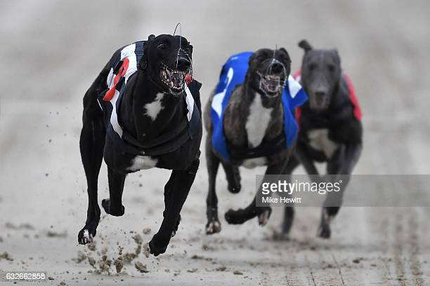 Greyhounds in action during the third race at the Coral Brighton Hove Greyhound Stadium on January 25 2017 in Brighton England