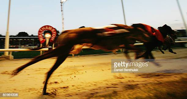 Greyhounds race at Walthamstow Greyhound Stadium on August 14 2008 in London England The famous Walthamstow Greyhound Stadium is set to run its last...