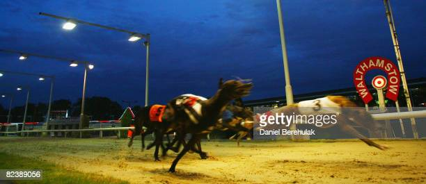 Greyhounds race during the farewell gala evening at Walthamstow Greyhound Stadium on August 16 2008 in London England The famous Walthamstow...