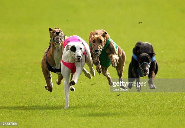 Greyhounds race in Heat 1 of the GRNSW Country Challenge Appin Cup at the Appin Way race meeting on June 11 2007 in Sydney Australia