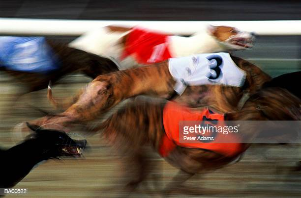 Greyhounds racing on track (blurred motion)