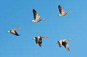 Flock of migrating greylag geese flying in v-formation.