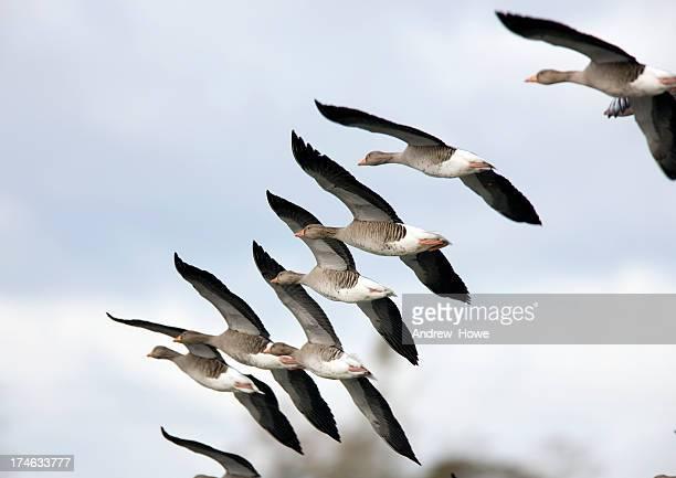 Greylag Goose  (Anser-anser)