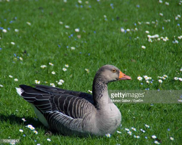 Greylag Goose Relaxing On Grassy Field