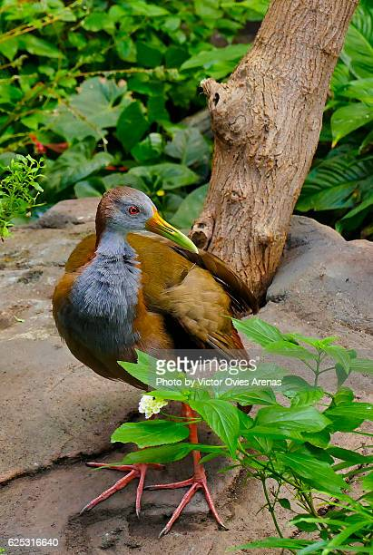 Grey-necked wood rail from the Amazon Rainforest