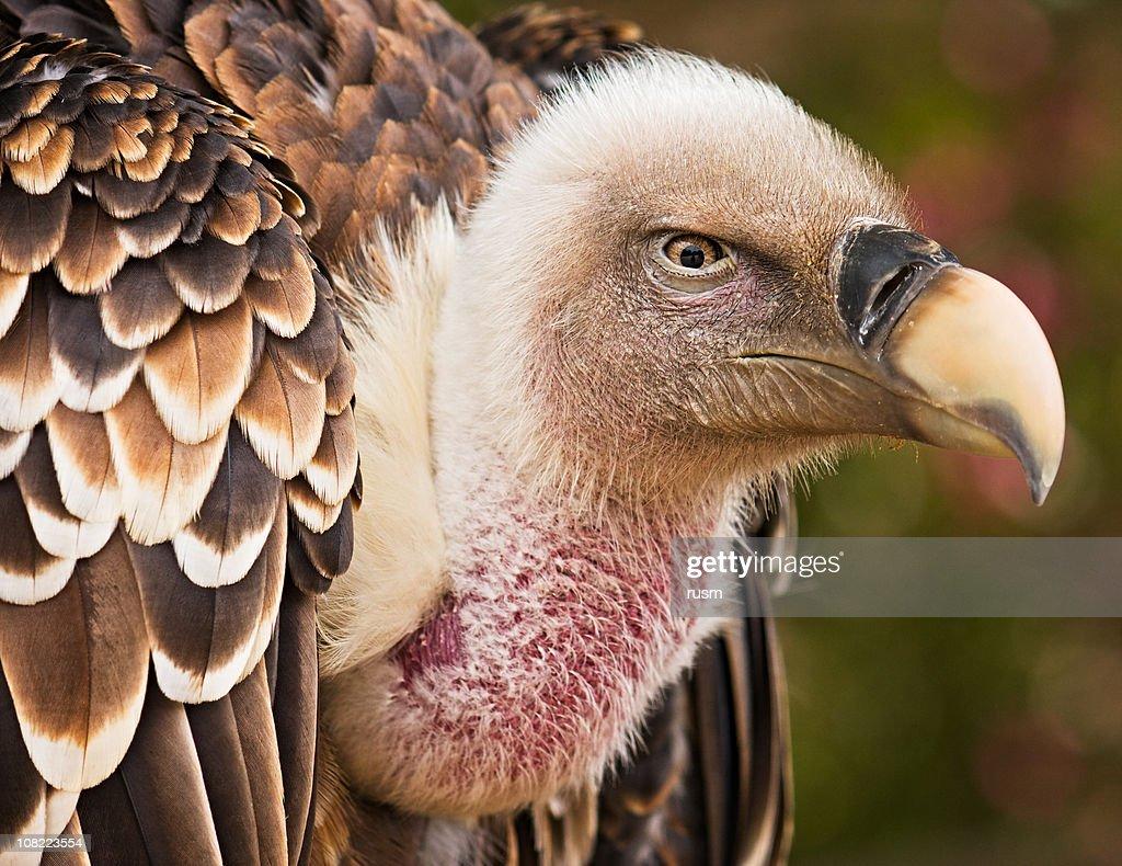 Griffon vulture portrait : Stock Photo