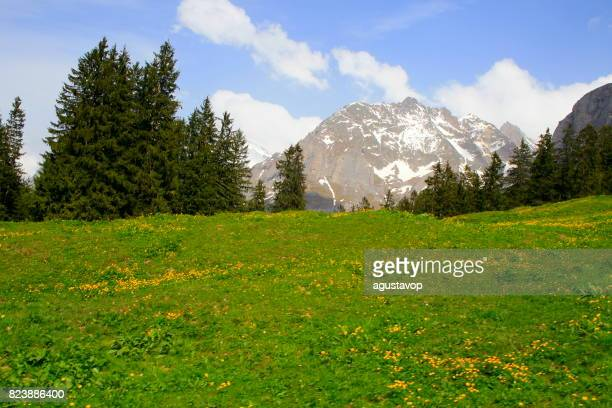 Grindelwald valley under Wetterhorn massif and Fary tale landscape at blossoming flowers springtime: idyllic alpine flowerbed valley and wildflowers meadows, dramatic swiss snowcapped alps, idyllic countryside, Bernese Oberland,Swiss Alps, Switzerland