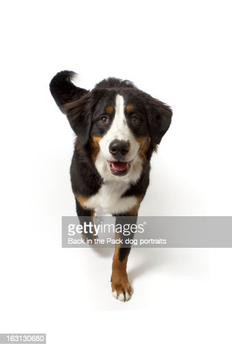 Bernese Mountain Dog Puppy Calgary