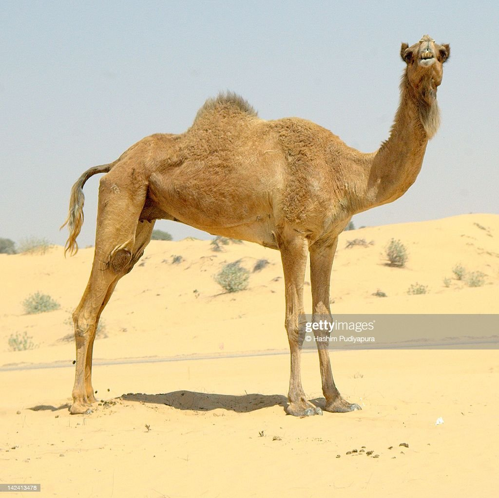 Grinning Camel : Stock Photo