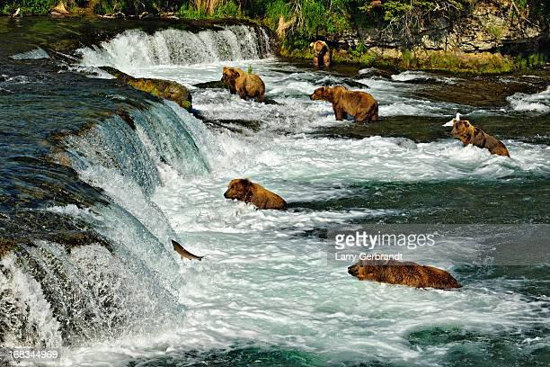Grizzlies hunting salmon at Brooks Falls