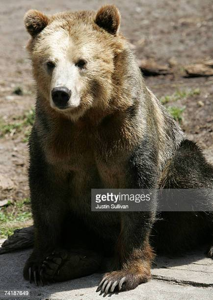 A grizzly bear an endangered animal species sits in an exhibit at the San Francisco Zoo May 18 2007 in San Francisco California The US celebrates the...