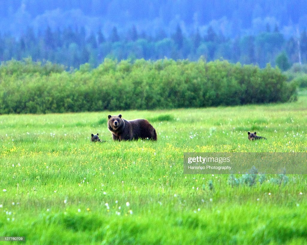 Grizzly Bear and her two cubs : Stock Photo