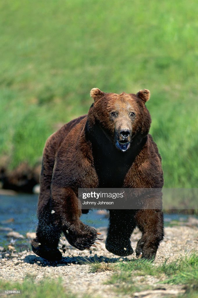 Grizzly bear (Ursus arctos horribilis) charging (digital enhancement) : Stock Photo