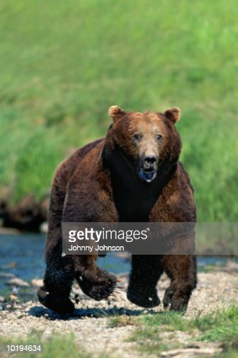 Grizzly bear (Ursus arctos horribilis) charging (digital enhancement) : Stock Photo