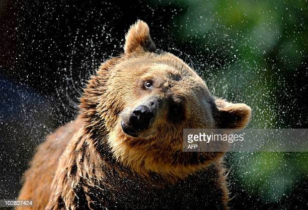 A grizzly bear comes out of the water at Madrid's zoo on July 7 2010 on a hot summer day AFP PHOTO/DANI POZO