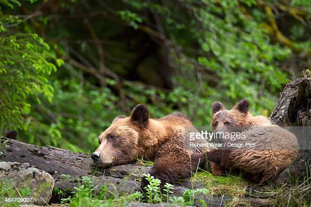 Grizzly Bear (Ursus Arctos Horribilis) Cub And Sow At The Khutzeymateen Grizzly Bear Sanctuary Near Prince Rupert