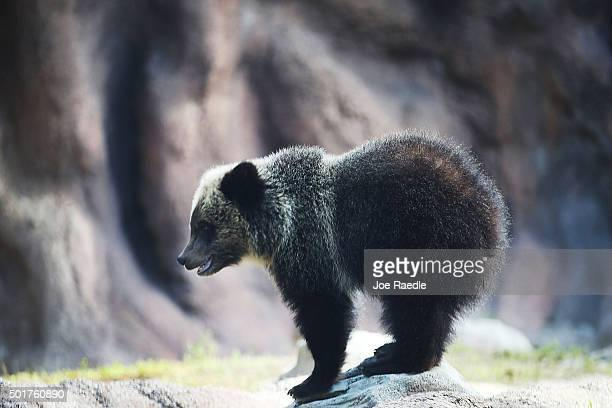 Grizzly bear cub named Juneau stands during her first day out in the public at the Palm Beach Zoo on December 17 2015 in West Palm Beach Florida The...