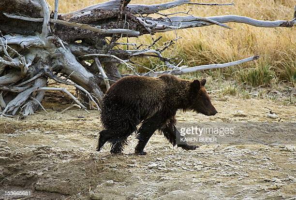 A Grizzly bear cub runs after its mother after exiting Pelican Creek October 8 2012 in the Yellowstone National Park in WyomingYellowstone National...