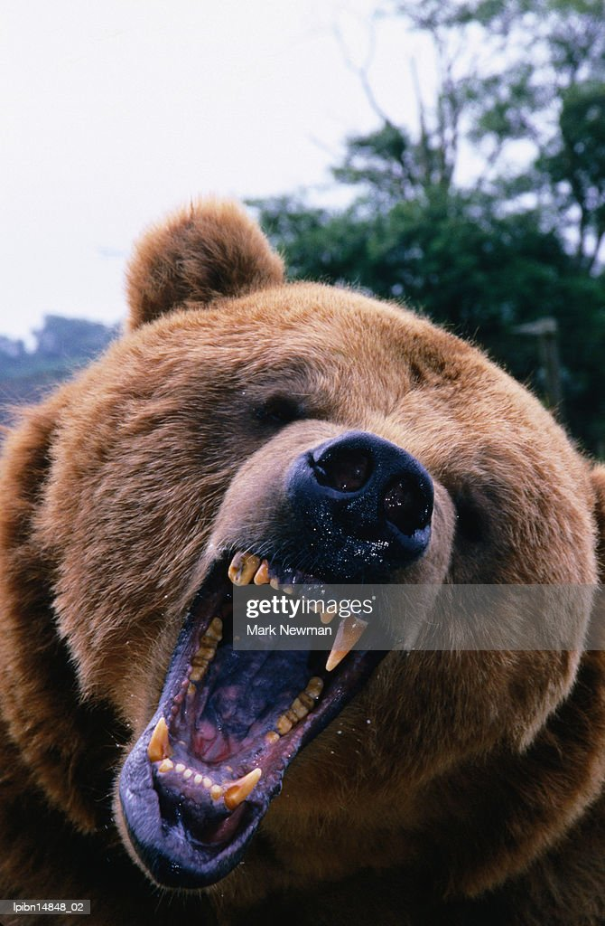 Grizzly Bear (Ursus arctos)., Denali National Park & Preserve, Alaska, United States of America, North America : Stock Photo