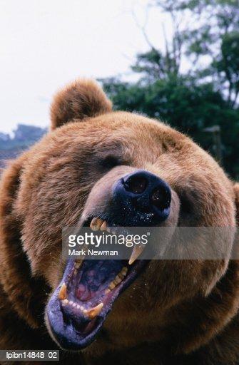 Grizzly Bear (Ursus arctos)., Denali National Park & Preserve, Alaska, United States of America, North America : Foto de stock