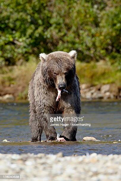 Grizzly bear (Ursus arctos horribilis) (Coastal brown bear) eating a salmon, Katmai National Park and Preserve, Alaska, United States of America, North America
