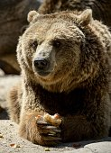 A grizzly bear eats frozen fruits on a hot summer day at Madrid's zoo on July 2 2015 Spain is heading for a new heatwave which will last for at least...