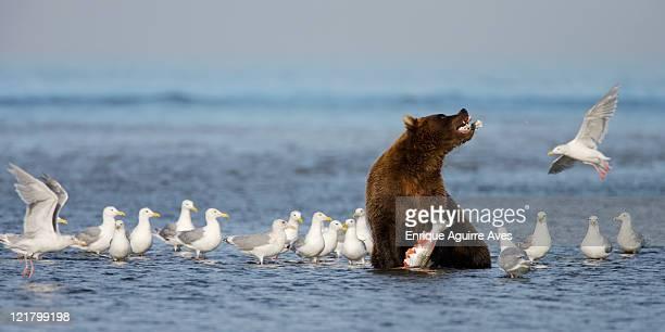 Grizzly Bear (Ursus arctos horribilis) fishing for salmon, Lake Clark National Park, Cook Inlet, Alaska