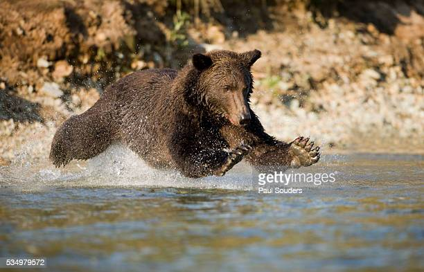 Grizzly Bear Hunting Spawning Salmon in River at Kinak Bay