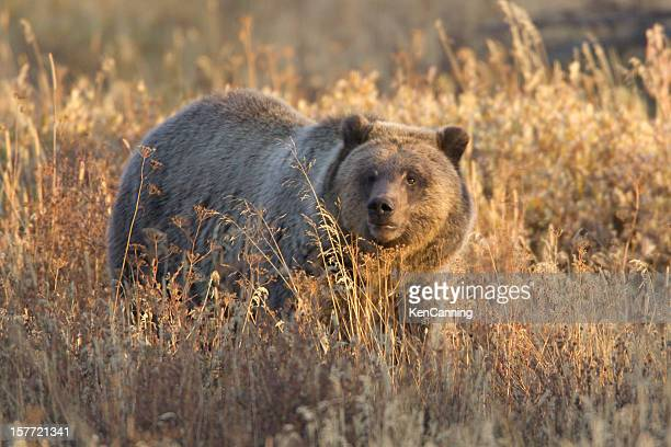 Grizzly Bear in Autumn Meadow