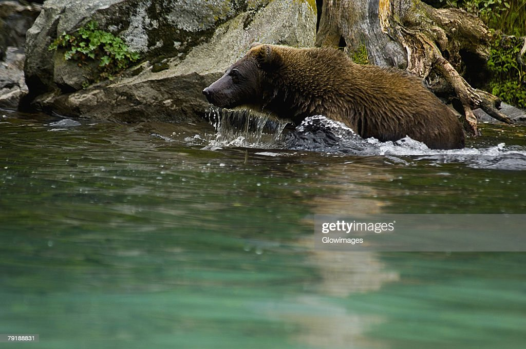 Grizzly bear (Ursus arctos horribilis) in water : Foto de stock